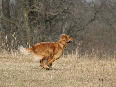 Photograph - Golden Retriever 2 by David Dunham