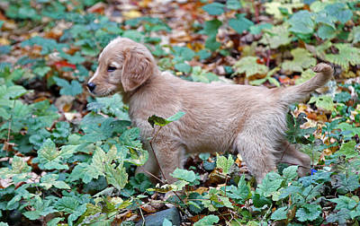 Photograph - Golden Retriever Baby by Juergen Roth