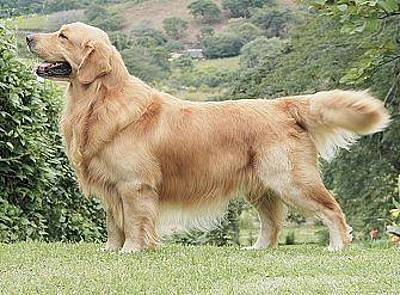 Golden Retriever Original by Bailey Reed