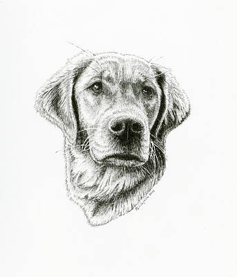 Drawing - Golden Retriever Bliss by Timothy Livingston
