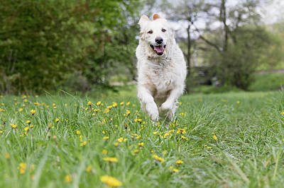 Golden Retriever Dod Is Running At The Blossoming Dandelion Mead Art Print