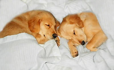 Sleeping Puppy Photograph - Golden Retriever Dog Puppies Sleeping by Jennie Marie Schell