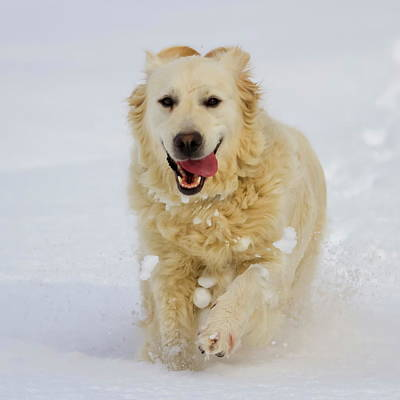 Photograph - Golden Retriever Dog Running In The Snow by Elenarts - Elena Duvernay photo