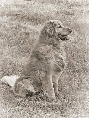 Photograph - Golden Retriever Dog Sepia by Jennie Marie Schell