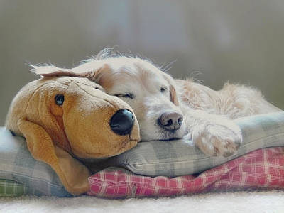 Comics Royalty-Free and Rights-Managed Images - Golden Retriever Dog Sleeping with my Friend by Jennie Marie Schell