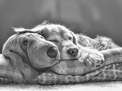 Golden Retriever Photograph - Golden Retriever Dog Sleeping With My Friend Monochrome by Jennie Marie Schell