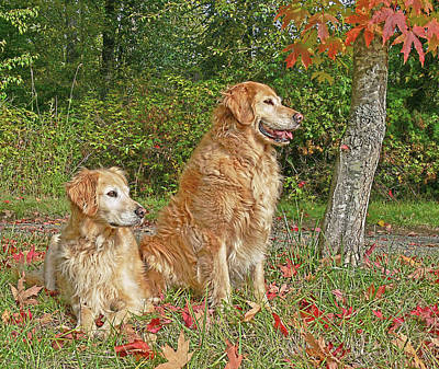 Photograph - Golden Retriever Dogs In Autumn by Jennie Marie Schell