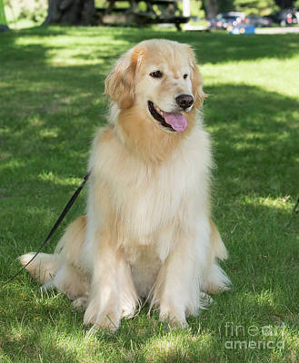 Photograph - Golden Retriever by Les Palenik