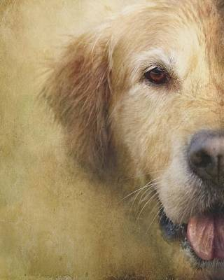 Golden Retriever Portrait 1 Art Print by Wolf Shadow  Photography