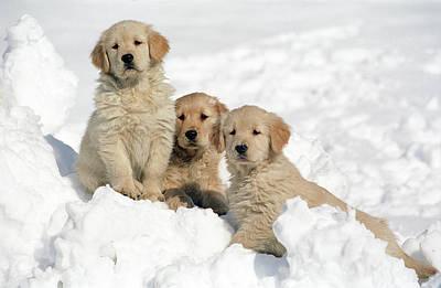 Golden Retrievers Photograph - Golden Retriever Puppies In Snow by Stan Fellerman