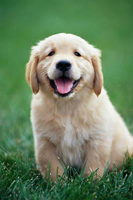 Golden Retrievers Photograph - Golden Retriever Puppy On Grass by Stan Fellerman