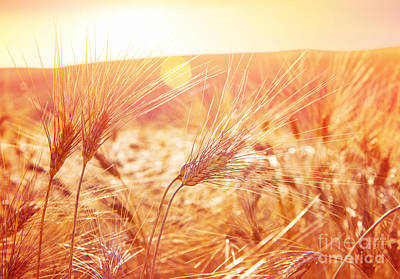 Photograph - Golden Ripe Wheat Field by Anna Om