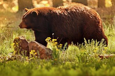 Brown Bear Wall Art - Photograph - Golden  by Rob Blair