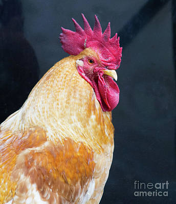 Photograph - Golden Rooster by Steven Parker