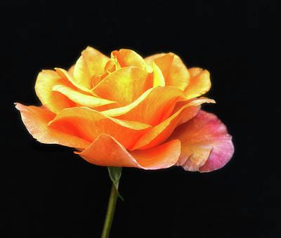 Golden Rose Art Print by Floyd Hopper