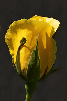 Photograph - Golden Rose by Kathleen Stephens