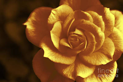 Stay Photograph - Golden Rose by Sverre Andreas Fekjan