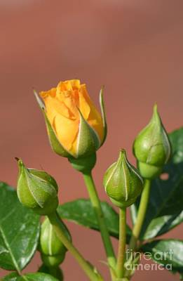 Photograph - Golden Rosebud by Maria Urso