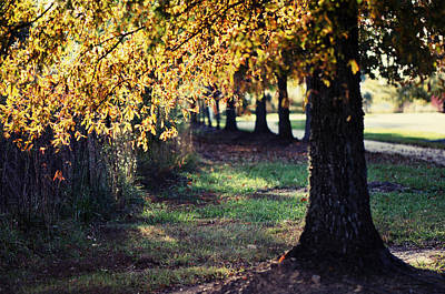 Oak Trees Photograph - Golden by Sarah Coppola