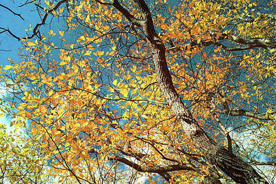 Photograph - Golden Sassafras by Shawna Rowe