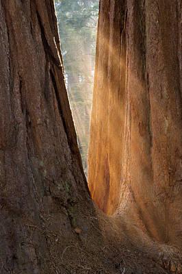 Photograph - Golden Sequoia by Sandra Bronstein