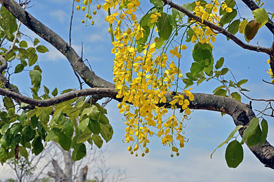 Cassia Blossoms Photograph - Golden Shower by Elena Artiushina