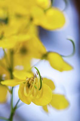 Golden Shower Flower - Kanikonna Art Print