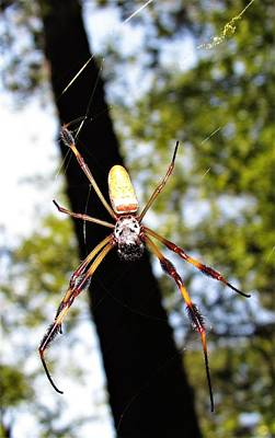Photograph - Golden Silk Spider by Joshua Bales