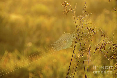 Photograph - Golden Spider Web by Cheryl Baxter