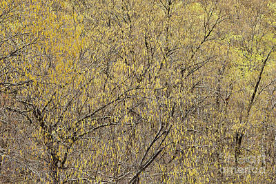 Photograph - Golden Spring Woods by Alan L Graham