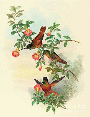 Golden Star Frontlet Art Print by John Gould