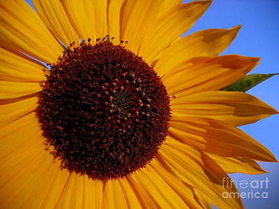 Photograph - Golden Sunflower by Larry Bacon