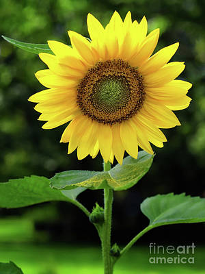 Photograph - Golden Sunflower by Mark Miller