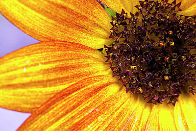 Golden Sunflower Petals Art Print by Sean Davey