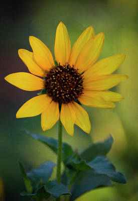Photograph - Golden Sunflower  by Saija Lehtonen