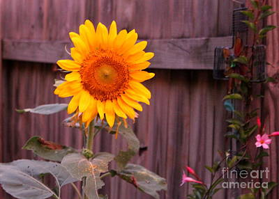 Photograph - Golden Sunflower by Sheri LaBarr