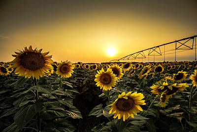 Golden Sunflower Sunset Art Print by Chris Harris