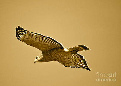 Golden Sunlight On Hawk Print by Carol Groenen