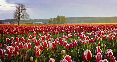 Photograph - Golden Sunset Across The Tulip Fields by Maria Janicki