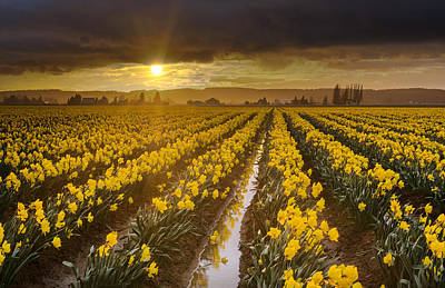 Photograph - Golden Sunset Daffodil Fields Light by Mike Reid