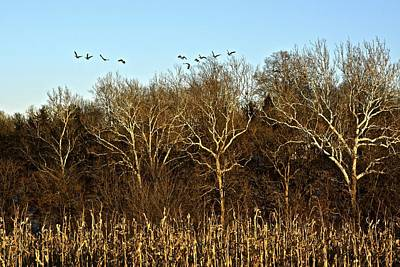 Photograph - Golden Sycamores by Tana Reiff