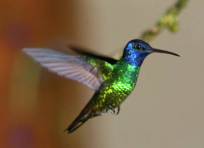 Photograph - Golden-tailed Sapphire In Flight by Cascade Colors