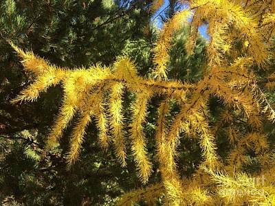 Photograph - Golden Tamarack by Jennifer Lake