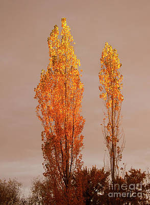 Photograph - Golden Trees by Robert Bales