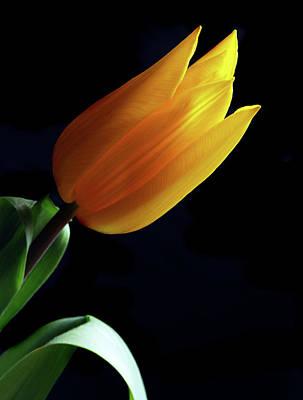Golden Tulip. Original