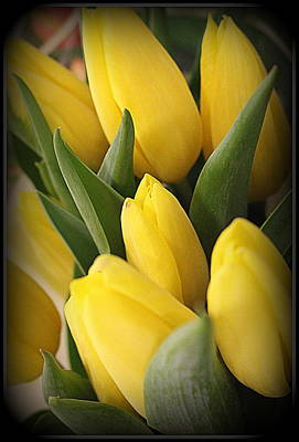 Golden Tulips Art Print