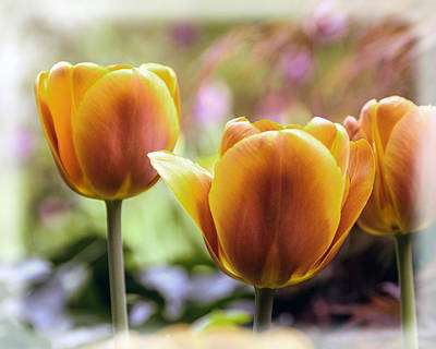 Photograph - Golden Tulips by William Havle