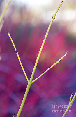 Photograph - Golden Twig Dogwood Abstract by Tim Gainey