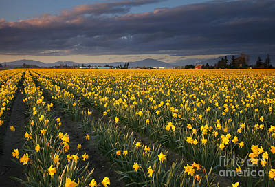 Daffodils Photograph - Golden Under The Storm by Mike  Dawson