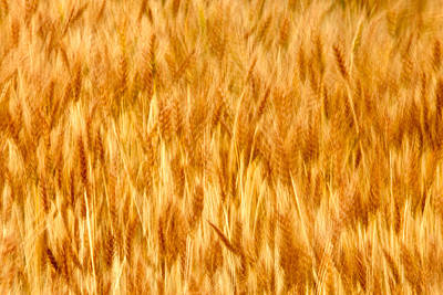 Textured Landscape Photograph - Golden Waves Of Grain by Todd Klassy